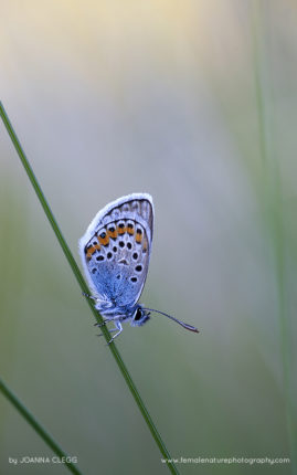 A silver-studded blue butterfly, at rest on a marram grass in the Cornish dunes