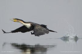 White-breasted Cormorant taking off, Chobe river, Botswana