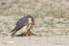 Adult Lanner falcon with Burchell's Sandcrouse prey, Kalahari Desert, South Africa