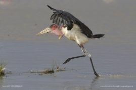 Arriving Marabou Stork, Etosha National Park, Namibia