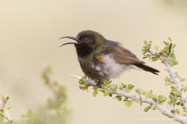 A Chirpy Dusky Sunbird , Namibia