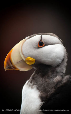 Horned Puffin Portrait