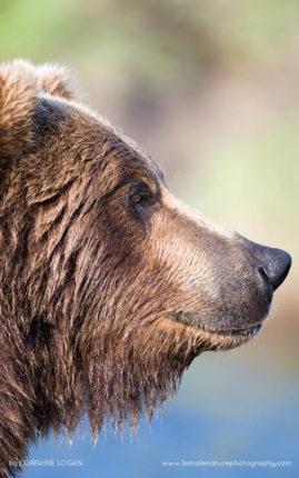 Brown Bear Gaze