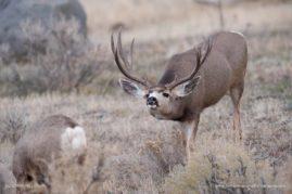 Rutting Mule Deer