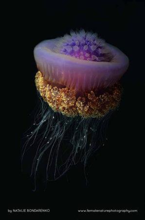 Jelly-fish, Maldives