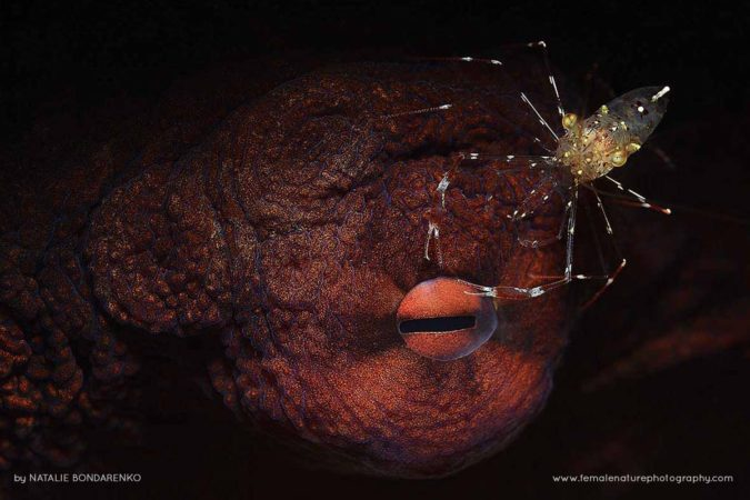 Octopus eye and cleaning shrimp, Anilao, Philippines