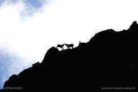 Ibex conflict