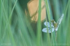 Dragonfly at sunrise