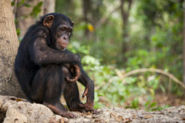 Chimpanzee in the National Parc of Haut-Niger, Guinea