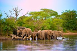 African Elephants drinking at dusk before crossing through the dam. South Africa