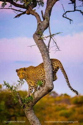 A female leopard descending at dusk in South Africa.