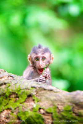 A young Crab-eating Macaque plays with a leaf it's too young to eat yet. Bali, Indonesia