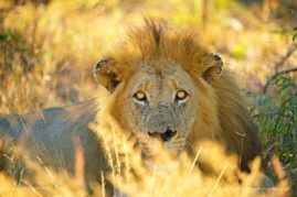 There is nothing quite like making eye contact with a lion.  Such an intense stare. South Africa.