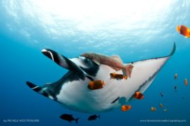 Giant Manta (Manta briostris) with remora attached and being cleaned by Clarion angelfish (Holacanthus clarionensis). Isla Revillagigedo, Mexico