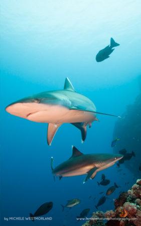 Silver-tip shark (Carcharhinus albimarginatus) hunting over reef system.  Papua New Guinea