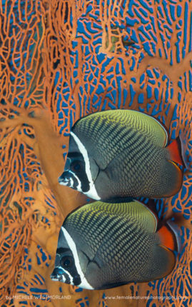White collar butterflyfish (Chaetodon collare) against a giant gorgonian seafan.  Indonesia