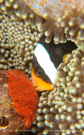 Clark's Anemonefish guarding  and cleaning eggs.  (Amphiprion clarkii) associated with several species of anemone (Heteractis sp), Pulau Wah, Aceh Province, Indonesia