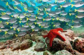 Schooling yellowtail surgeonfish (Prionurus laticlavius) school and starfish in the Galapagos Islands, Ecuador.