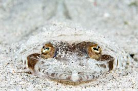 This black-banded flathead (Rogadius patriciae)photographed in Komodo National Park, Indonesia will bury in the sand for protection from predators.  He almost looks like he's smiling.