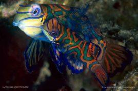 Mating mandarinfish (Synchiropus splendidus)  Palau, Micronesia