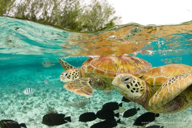 Over-Under photo of green sea turtles ( Chelonia mydas ) in large lagoon at The Turtle Center.  Le Meridien Resort, Bora Bora, Society Islands, French Polynesia