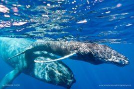 Female humpback whale (Megaptera novaeangliae) and her calf in the waters of La Reunion Island