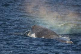 Great male sperm whale (Physeter macrocephalus) in Norway