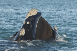 Southern right whale (Eubalaena australis) with wide open mouth showing his baleen plates in South Africa