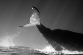 Humpback whale (Megaptera novaeangliae) in the waters of La Reunion Island