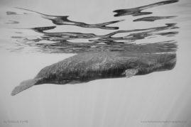 Female sperm whale (Physeter macrocephalus) in Mauritius Island