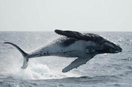 Humpback whale (Megaptera novaeangliae) breaching in the waters off New Zealand
