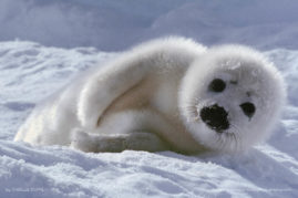 My first picture : a baby harp seal  (Pagophilus groenlandicus)  on the canadian ice packs.