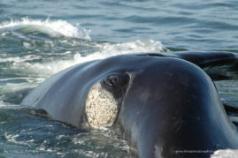 Southern right whale (Eubalaena australis) rolling on his side, showing his eye and the eyebrow callosity in South Africa