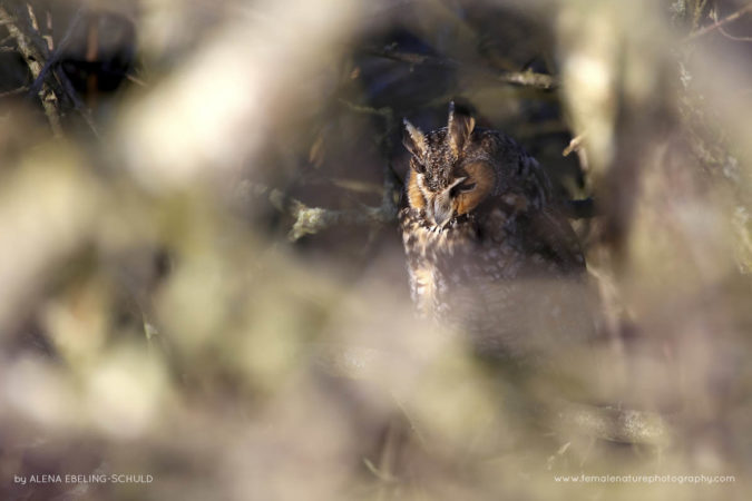 """""""Soft"""" - A Long-Eared Owl (Asio otus) having an afternoon snooze near Vancouver, BC."""