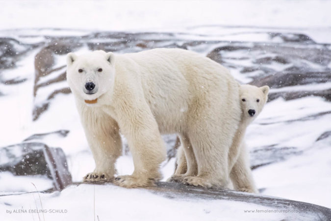 """""""Collared Mama"""" - A collared mother Polar Bear (Ursus maritimus) and her curious cub in Churchill, Manitoba"""
