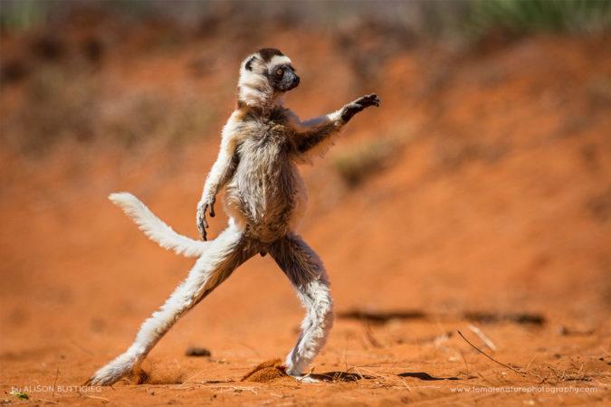 Verreaux's Sifaka - Berenty Madagascar