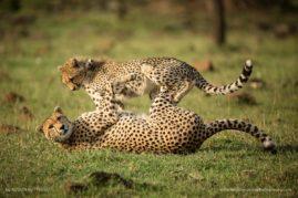 Cheetahs - Masai Mara Kenya