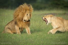 The Argument - Masai Mara - Kenya