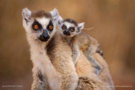 Ring Tailed Lemur - Berenty - Madagascar