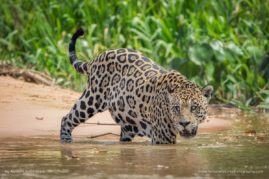 Jaguar - Pantanal - Brazil