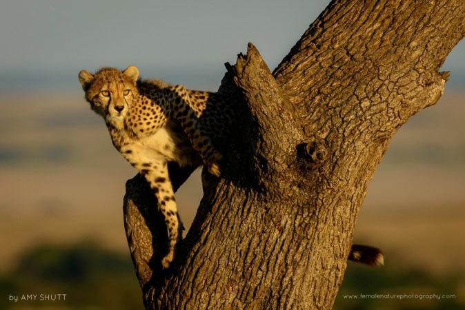 Nora's Girl - Cheetah, Maasai Mara, Africa