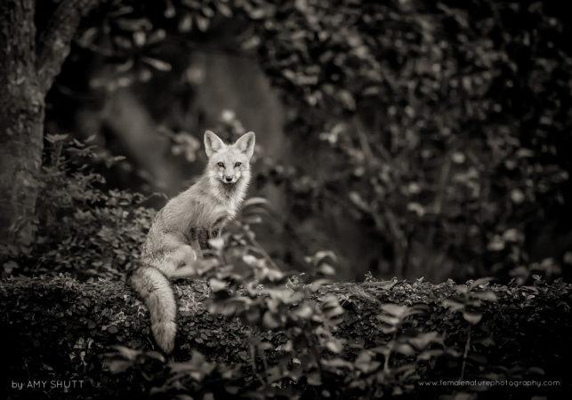 The Vixen By The Lake - Red Fox, Louisiana