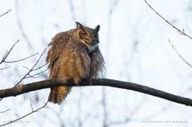 Great Horned Owl at the Great Swamp National Wildlife Refuge, NJ