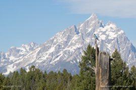 Mountain Blue Bird in Front of the Teton Range, Grand Teton National Park, WY