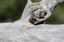 Yellow-bellied Marmot Babies, Grand Teton National Park, WY