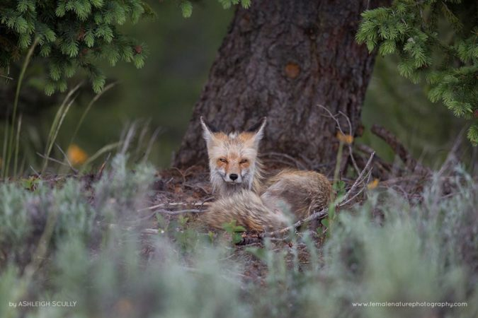 Red Fox Vixen Resting After a Busy Day With Her Kits, Grand Teton National Park, WY