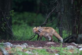 Nuzzling Red Fox Vixen and her Kit, New Jersey