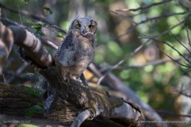 Great Horned Owlet in a Cottonwood Stand, Idaho