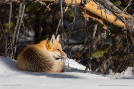 Sleepy Red Fox in Grand Teton National Park, WY