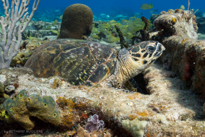 A hawksbill sea turtle rests on the bottom on a shallow wreck off Grand Bahama Island